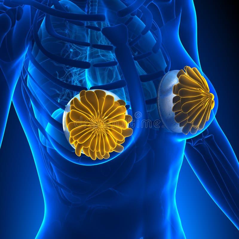De Anatomieconcept van het vrouwenborstimplantaat vector illustratie
