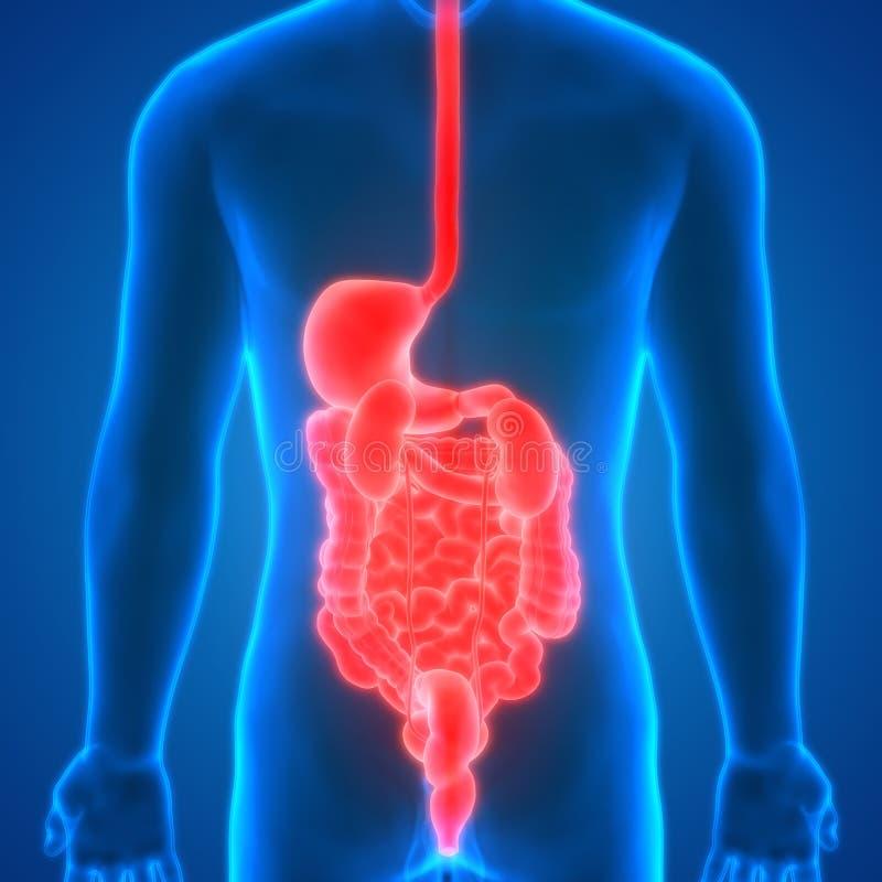 De Anatomienieren van menselijk Lichaamsorganen met Spijsverteringssysteem Latere mening royalty-vrije illustratie