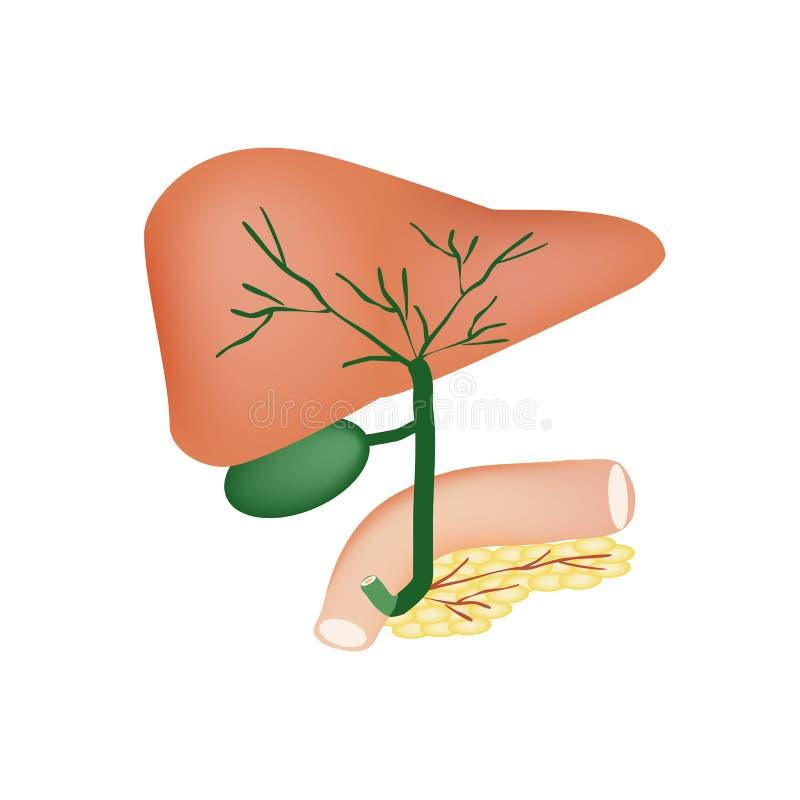 De anatomische structuur van de lever, gallbladder, de galkanalen en de alvleesklier Vectorillustratie op geïsoleerde achtergrond royalty-vrije illustratie