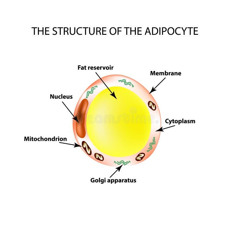 De anatomische structuur van de vette cellen Adipocyte Infographics Vectorillustratie op geïsoleerde achtergrond vector illustratie