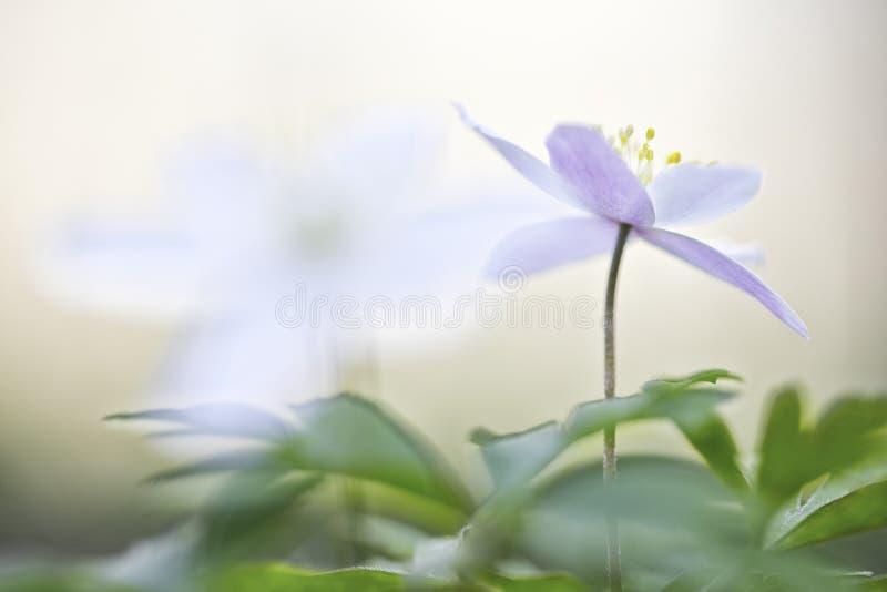 De Anemoonnemorosa van de lente boswildflowers royalty-vrije stock fotografie