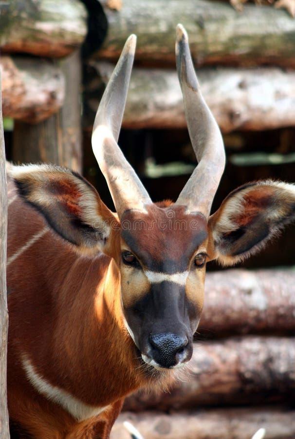 De Antilope van Bongo stock afbeeldingen