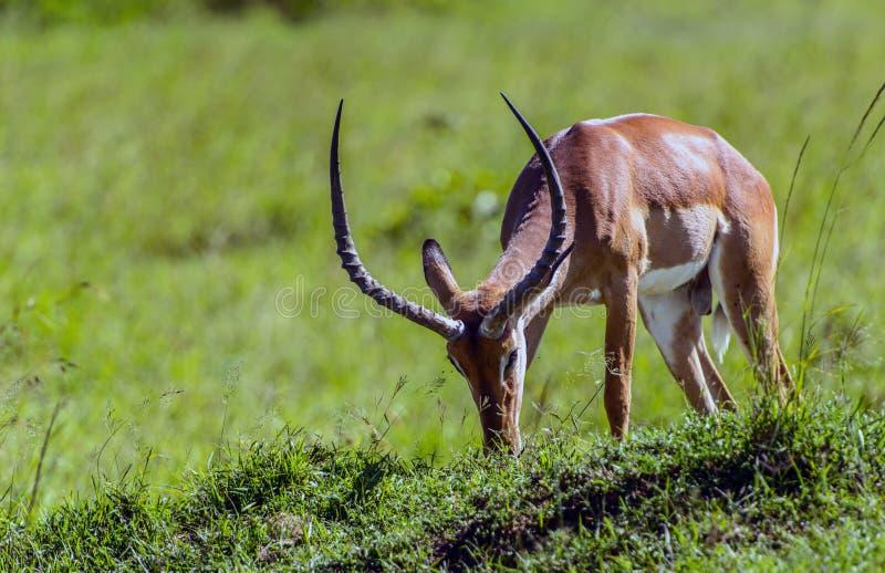 De antilope van de impala in de masaimara reserve in Kenia Afrika stock afbeelding