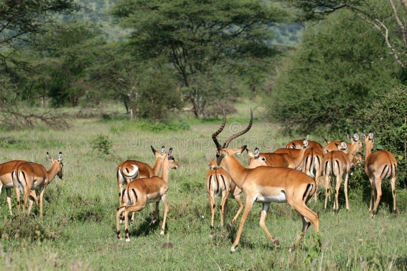 De Antilope van de impala - Serengeti, Tanzania, Afrika royalty-vrije stock afbeeldingen