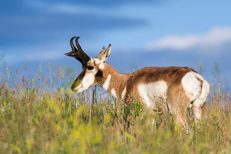 De antilope van de riekhoorn royalty-vrije stock afbeeldingen