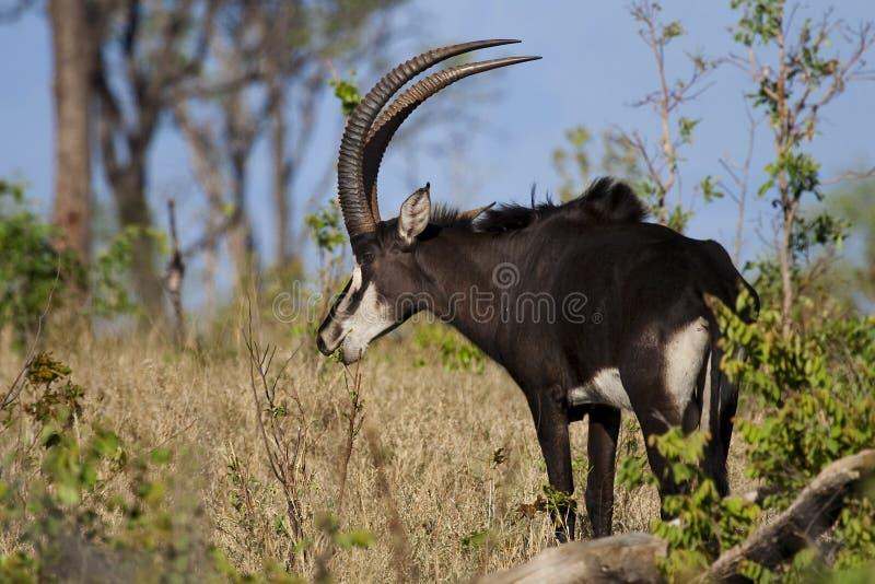 De antilope van de sabelmarter, Chobe, Botswana stock fotografie