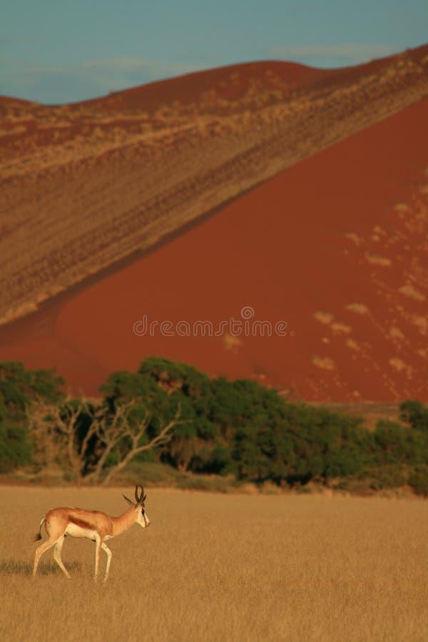 De antilope van de springbok royalty-vrije stock afbeeldingen
