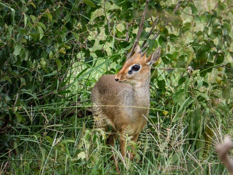De Antilope van Dikdik royalty-vrije stock foto