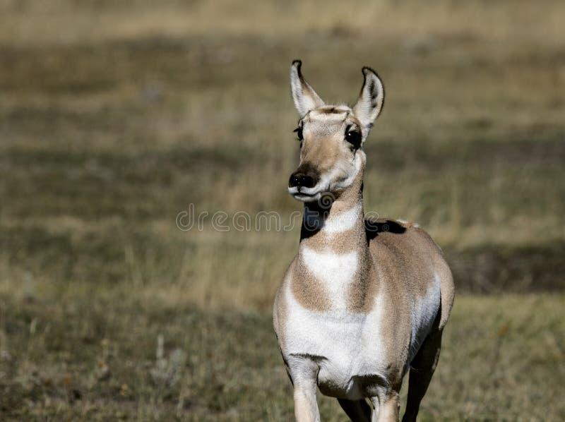 De Antilope van Pronghorn stock afbeeldingen