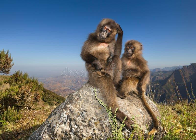 De apen die van babygelada op een rots sittting royalty-vrije stock afbeelding