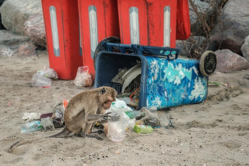 De apen ontmantelen het huisvuil in het afval als voedsel als milieuprobleem in Thailand stock foto