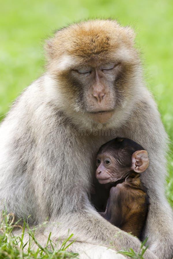 De apen van Barbarije royalty-vrije stock afbeelding
