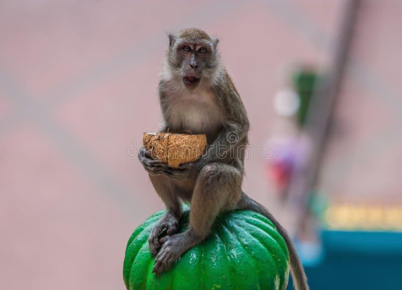 De apen van Batu holt, Maleisië uit stock fotografie