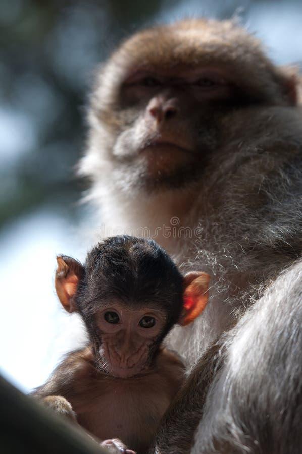 De Apen van Berber stock foto's