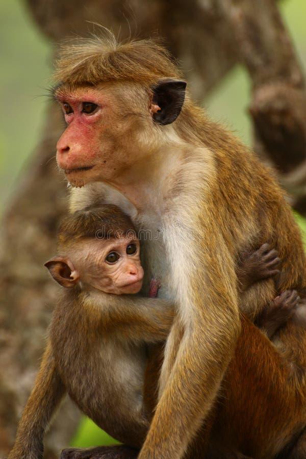 De Apen van Srilankan royalty-vrije stock foto