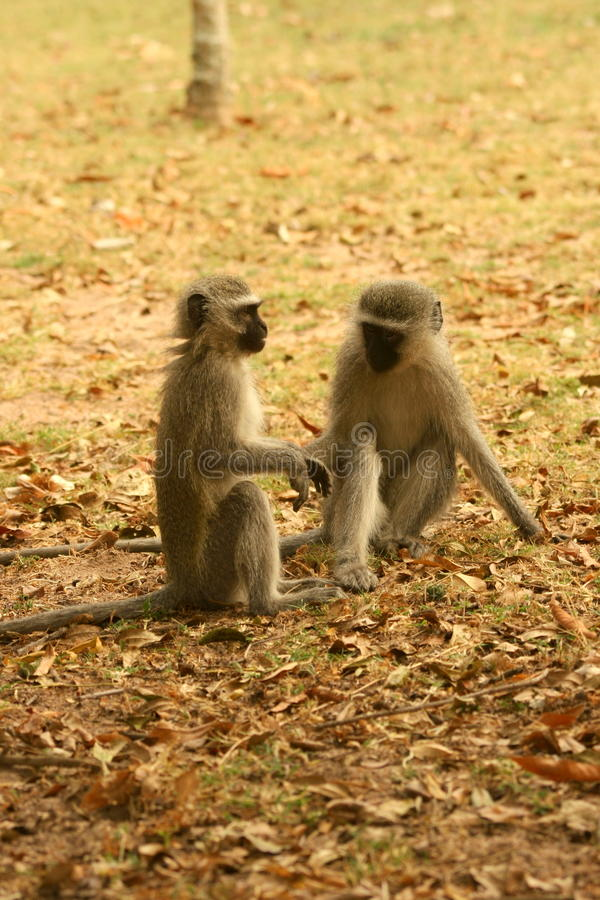 De apen van Vervet stock afbeeldingen