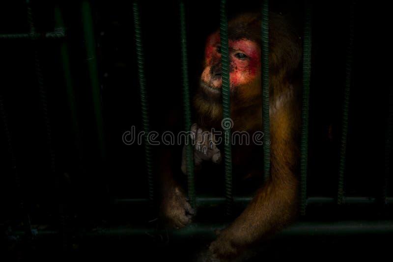 De apen zijn opgesloten in een staalkooi en stellen de wreedheid van mensheid tentoon royalty-vrije stock fotografie