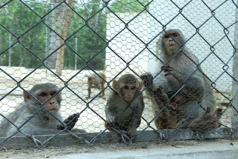 De apen zijn slim sociaal dier stock afbeelding