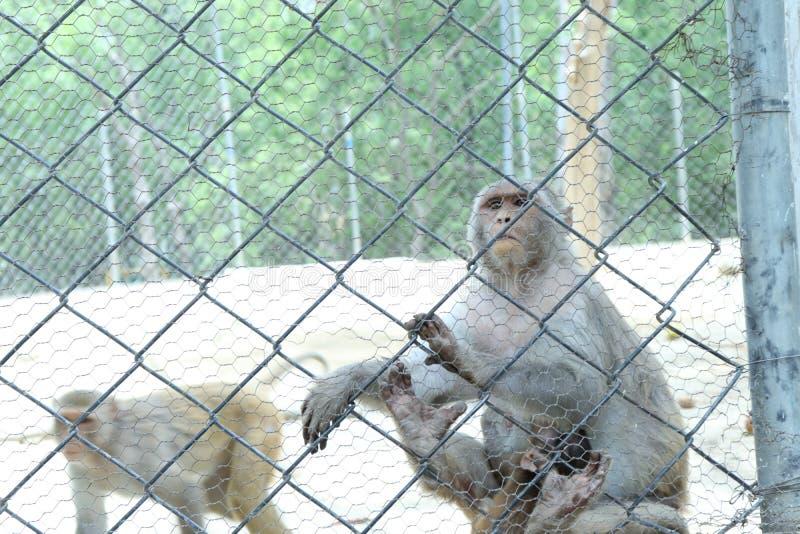 De apen zijn slimme sociale dieren stock afbeelding
