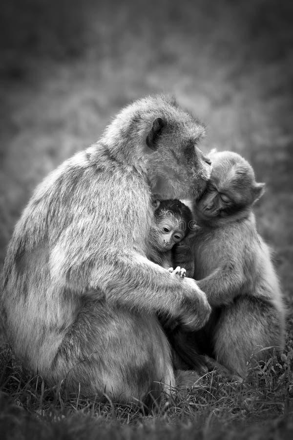 De apenfamilie van Barbarije stock afbeeldingen