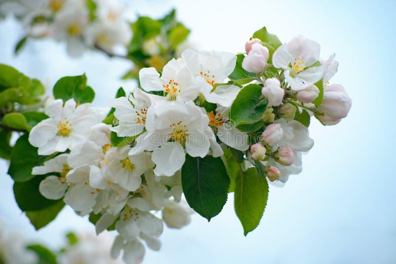 De appelbomen zijn bloeiende witte bloemen in de lente stock foto's