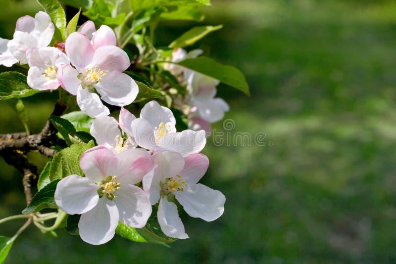 De appelboom van bloesems stock afbeeldingen