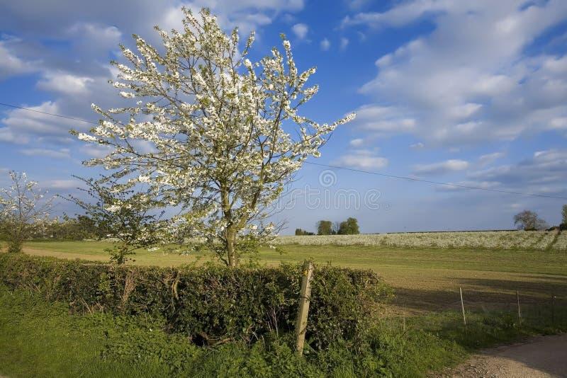 De appelboomgaarden van de bloesem stock afbeelding