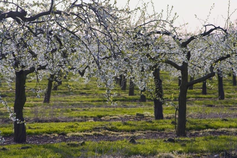 De appelboomgaarden van de bloesem stock foto