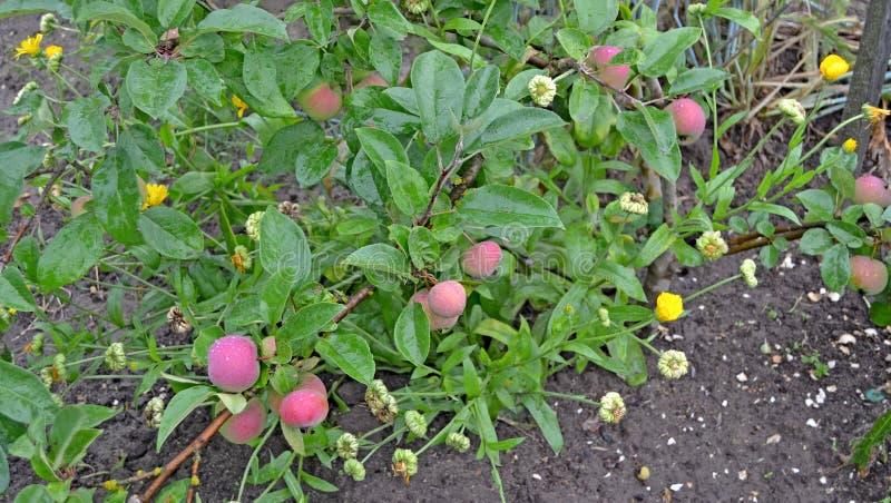 De appelen op een tak sluiten omhoog stock afbeelding