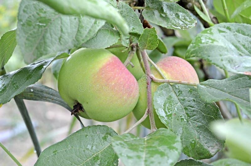 De appelen op een tak sluiten omhoog stock foto
