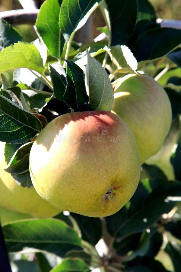 De appelen rijpen in het noorden van Italië royalty-vrije stock afbeeldingen