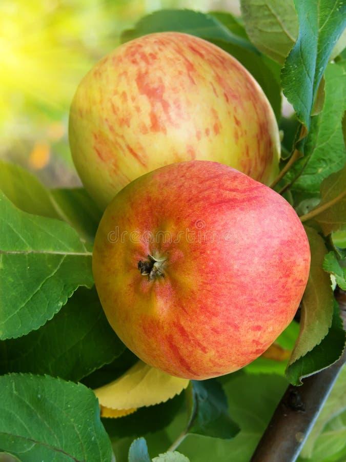 Download De Appelen Van Het Fruit Op Een Boom Stock Afbeelding - Afbeelding bestaande uit flora, boom: 10781653