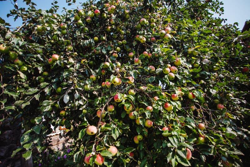De Appelentuin met vele appleses stock foto's