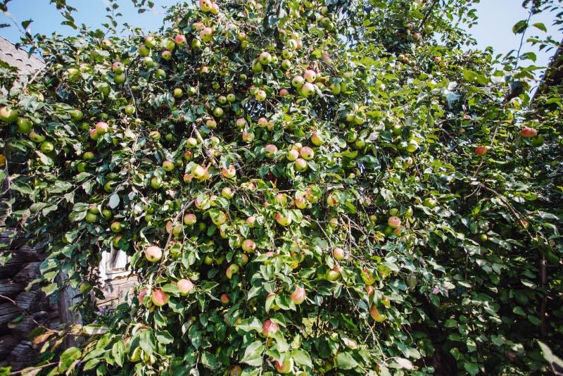 De Appelentuin met vele appleses royalty-vrije stock foto's
