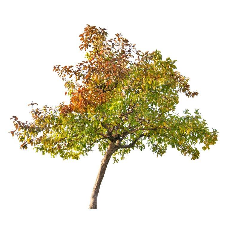 De apple-boom van de daling die op wit wordt geïsoleerdT royalty-vrije stock foto's