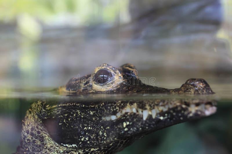 De aquarium` s krokodil royalty-vrije stock foto