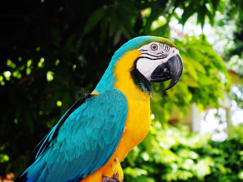 De Ara van papegaai// stock foto