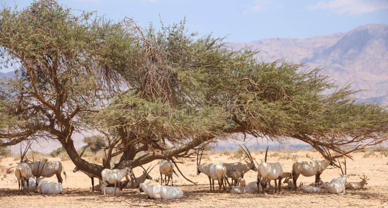 De Arabische die kudde van Oryx Oryx leucoryx onder een Acaciaboom wordt verzameld stock foto's