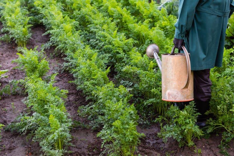 De arbeider geeft wortelen in de tuin water stock afbeeldingen