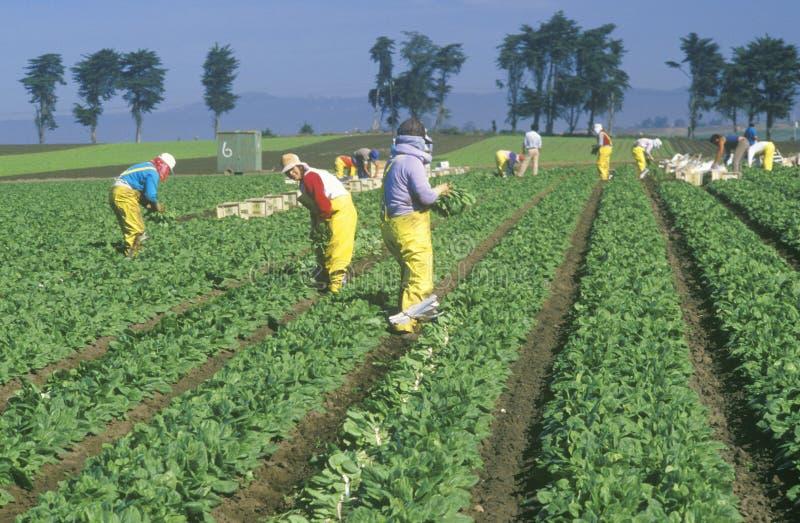 De arbeiders die van het landbouwbedrijf groenten plukken stock afbeeldingen