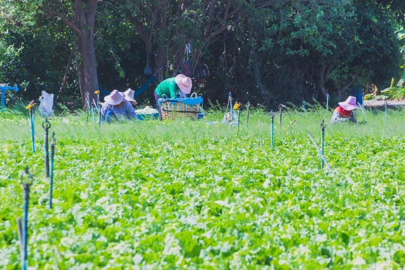 Download De Arbeiders Helpen Om Groenten Op Te Nemen Redactionele Afbeelding - Afbeelding bestaande uit groen, concept: 114226440