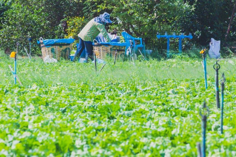 Download De Arbeiders Helpen Om Groenten Op Te Nemen Redactionele Stock Foto - Afbeelding bestaande uit mensen, gebied: 114226588