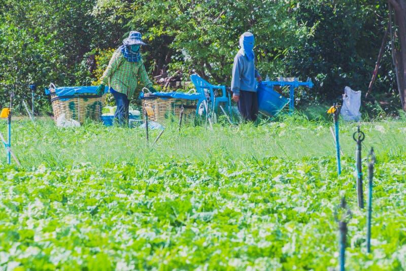Download De Arbeiders Helpen Om Groenten Op Te Nemen Redactionele Afbeelding - Afbeelding bestaande uit levensstijl, installatie: 114227885