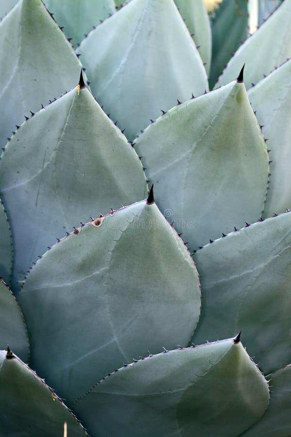 De Aren van cactussen stock foto