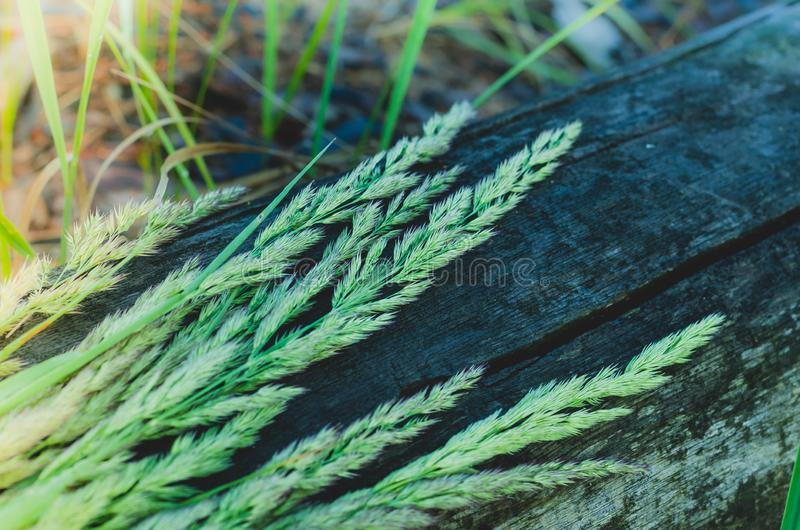 De aren van wilde kruiden liggen op een oud droog logboek Zachte selectieve nadruk stock foto's
