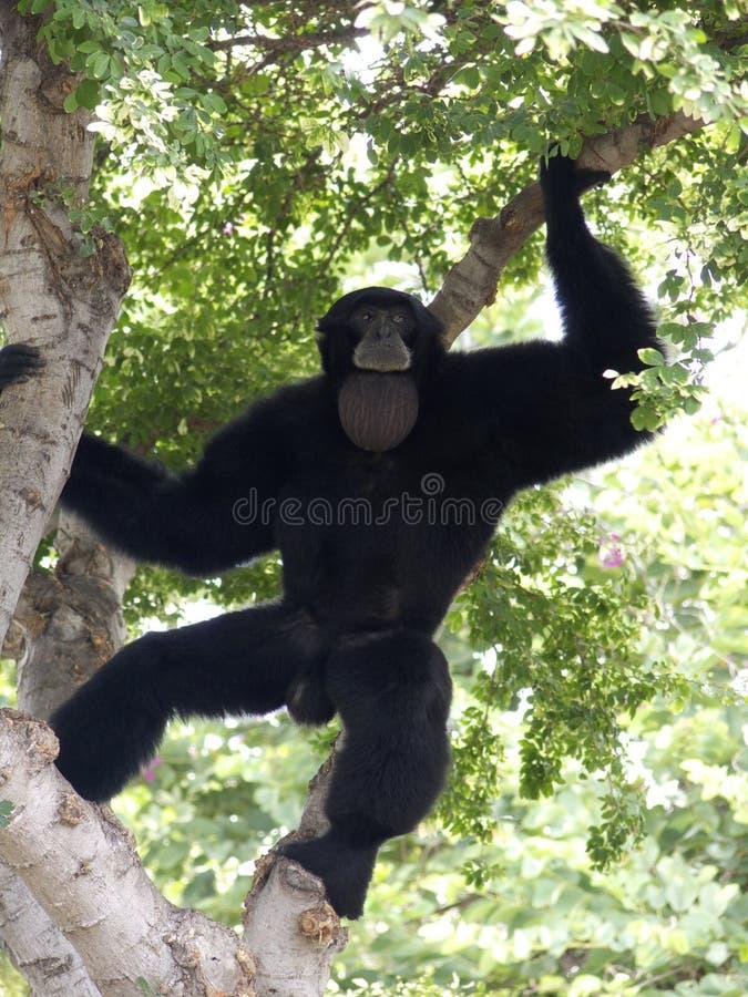 De Aria van de aap royalty-vrije stock foto