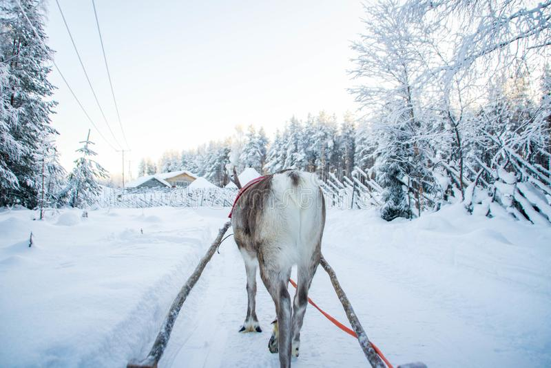 De arrit van het de winterrendier in Lapland, Finland stock afbeelding