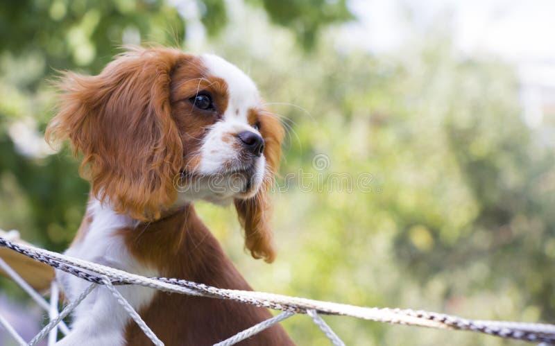De arrogante hond van Charles Spaniel van de Koning stock foto