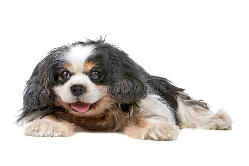De arrogante hond van Charles Spaniel van de Koning stock foto's