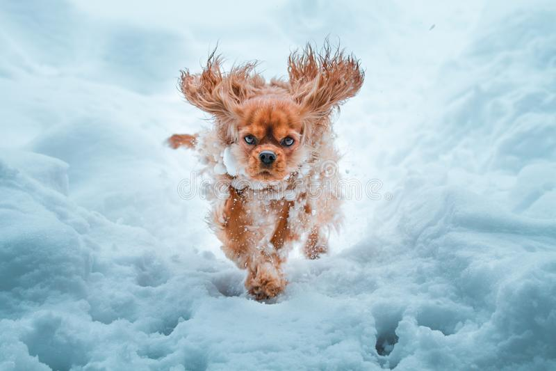 De arrogante hond van Koningscharles spaniel runnung in de winter stock afbeeldingen